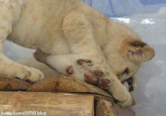 ホワイトライオンの赤ちゃん_49