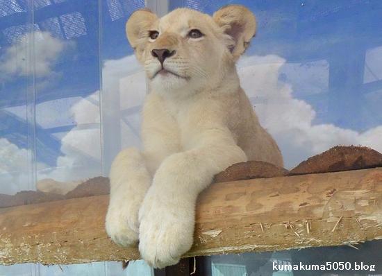 ホワイトライオンの赤ちゃん_52
