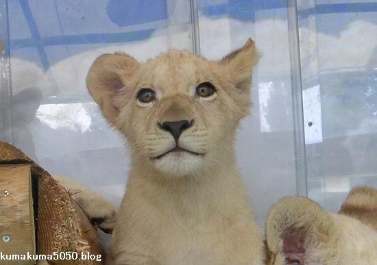 ホワイトライオンの赤ちゃん_54