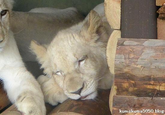 ホワイトライオンの赤ちゃん_56
