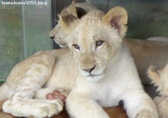 ホワイトライオンの赤ちゃん_57