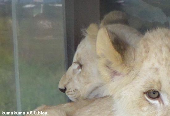 ホワイトライオンの赤ちゃん_58