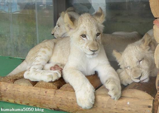 ホワイトライオンの赤ちゃん_59