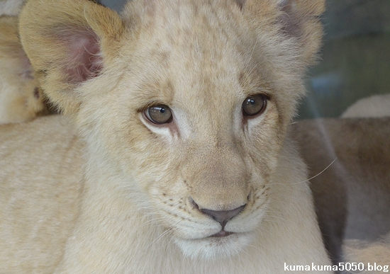 ホワイトライオンの赤ちゃん_61