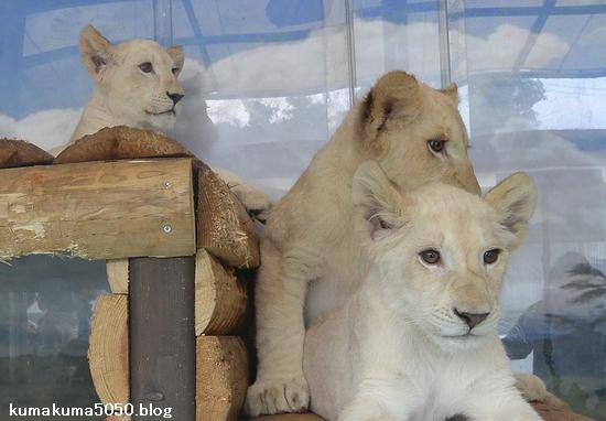 ホワイトライオンの赤ちゃん_63