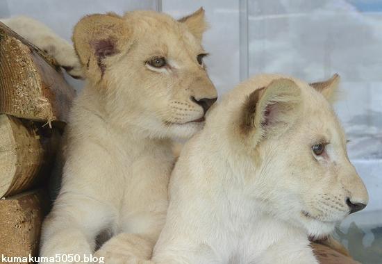 ホワイトライオンの赤ちゃん_64