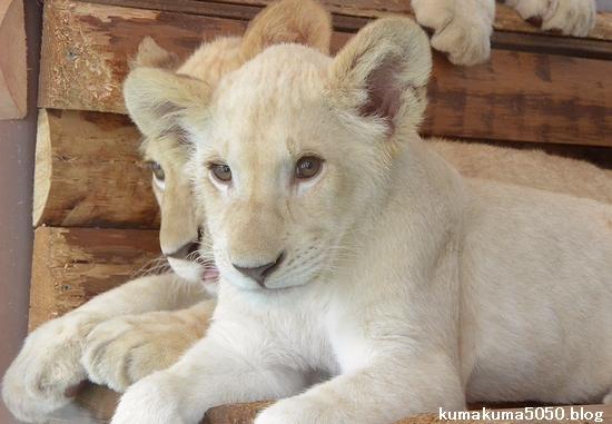 ホワイトライオンの赤ちゃん_68