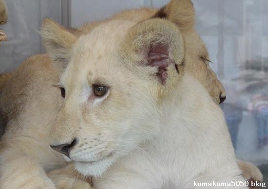 ホワイトライオンの赤ちゃん_70
