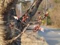4月26日の桜-1