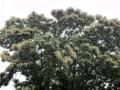 栗の花-2