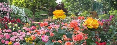 全景黄薔薇