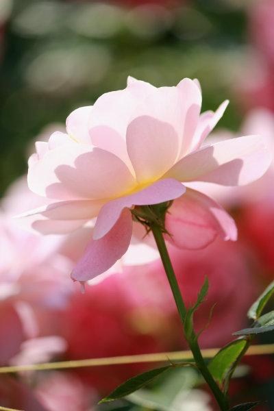 rose-03.jpg