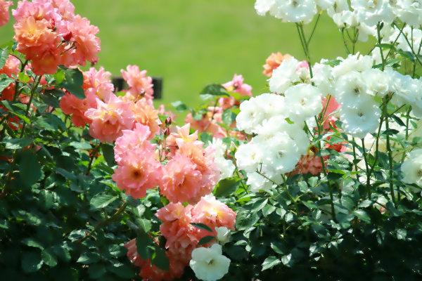 rose-04.jpg