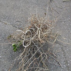 カラスの巣 撤去 003_R