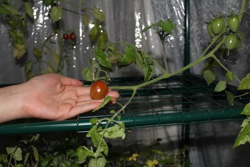 完熟トマト2