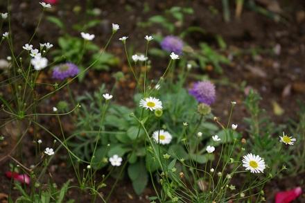スカビオサも咲きました
