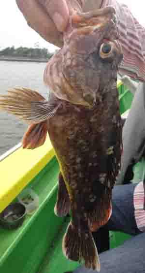 私が釣った一番大きなカサゴ