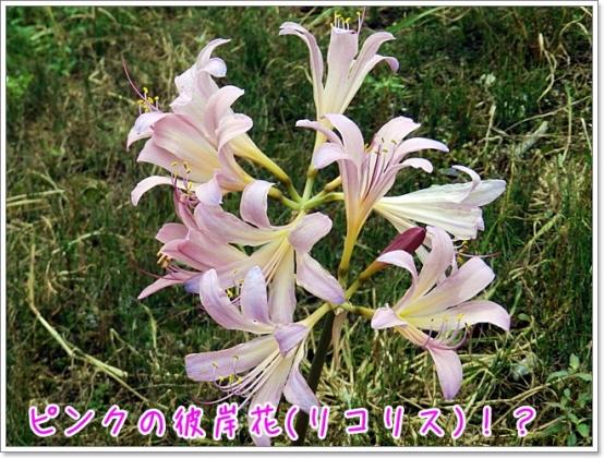 ピンクの彼岸花(リコリス)