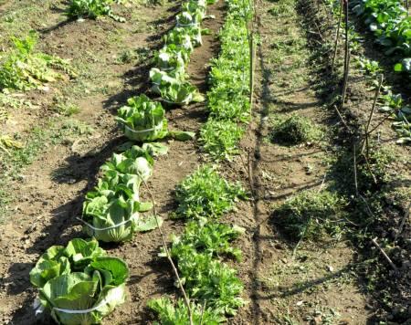 2014_02 23_春菊・白菜、畝の雑草引き(レイアウト1)