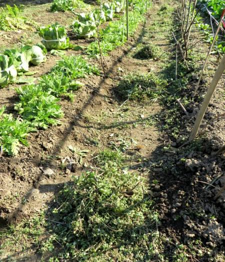 2014_02 23_春菊・白菜、畝の雑草引き(レイアウト2)