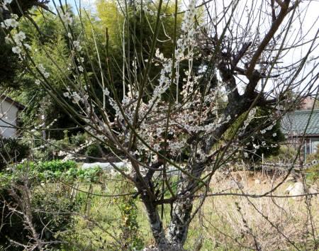 2014_03 21_春本番・梅の花ー1