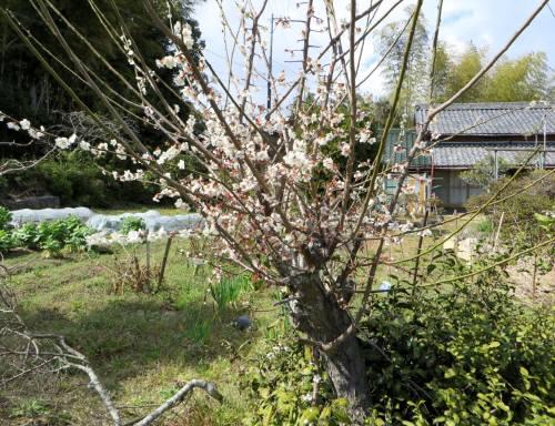 2014_03 21_春本番・梅の花ー2
