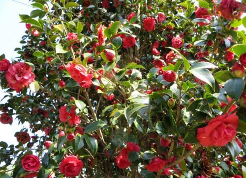 2014_03 24_紅椿『紅い花』