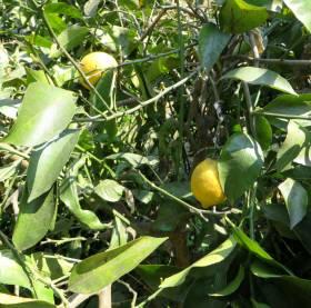 2014_03 24_雪で枝が折れた樹のレモン