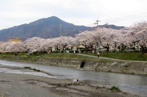 2014_04 02_高野川、桜、比叡山