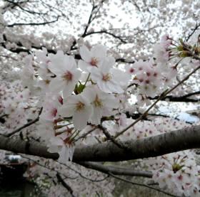 2014_04 03_岡崎、桜、アップ