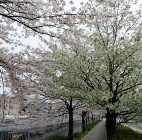 2014_04 03_二条鴨川、黄桜?山桜?
