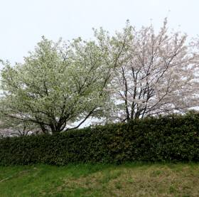 2014_04 03_二条鴨川、黄桜?山桜?・2