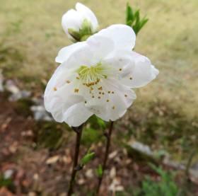 2014_04 07_源平の花桃、開花・2