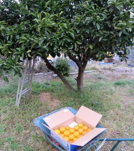 2014_04 09_八朔の収穫完了2014年4月