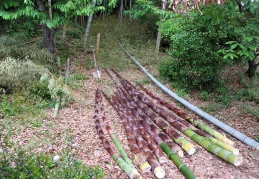 2014_05 12_裏山の竹・1