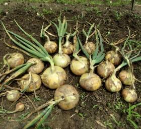 2014_05 14_たまねぎ・畑で収穫