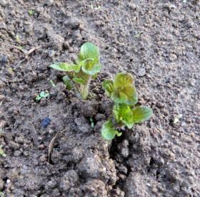 2014_04 22_じゃが芋の芽が出た