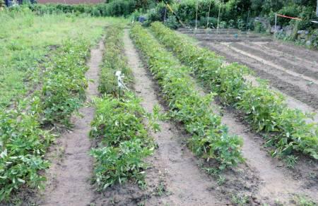 2014_06 08_じゃが芋畑・収穫前