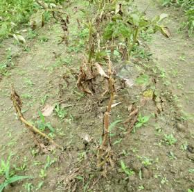 2014_06 10_じゃが芋畑が枯れてきた・2