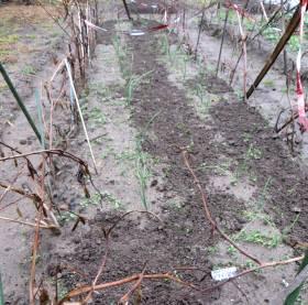 2013_12 19_タマネギ畝・中耕と雑草引き・1