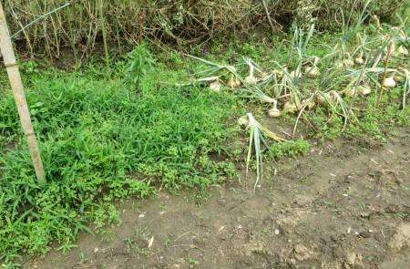 2014_06 09_最初のタマネギ収穫の跡が雑草地に・2