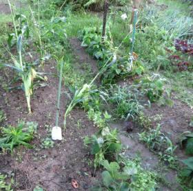 2014_07 11_台風の後の豆類とトウモロコシ
