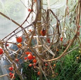 2014_08 22_終焉・2、トマト