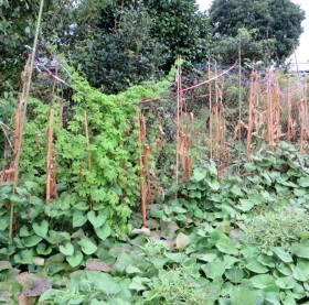 2014_08 22_終焉・4、トウモロコシ