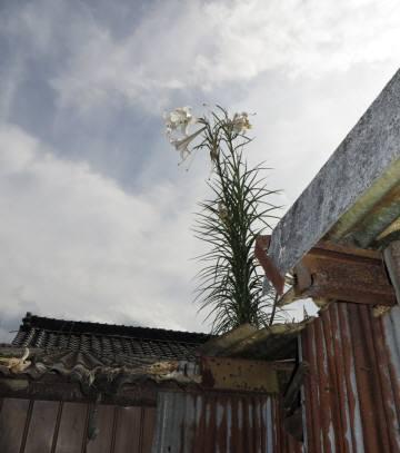 2014_09 07_屋根に咲いた百合の花