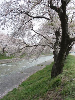funakawasakura2014-4.jpg