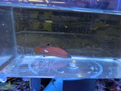 海水魚 237