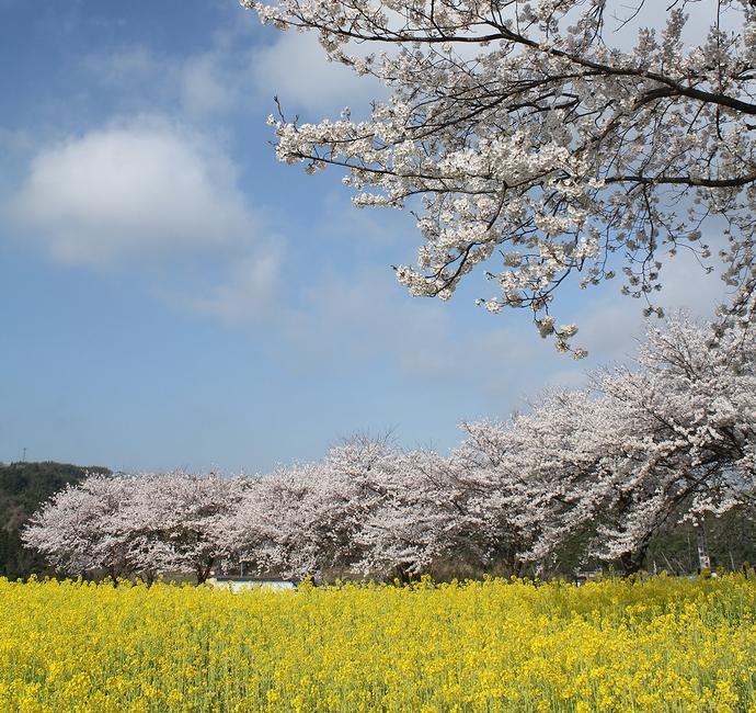 満開の桜と菜の花畑 金沢市太陽が丘