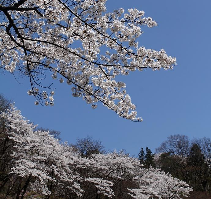 卯辰山の桜景色 石川県金沢市