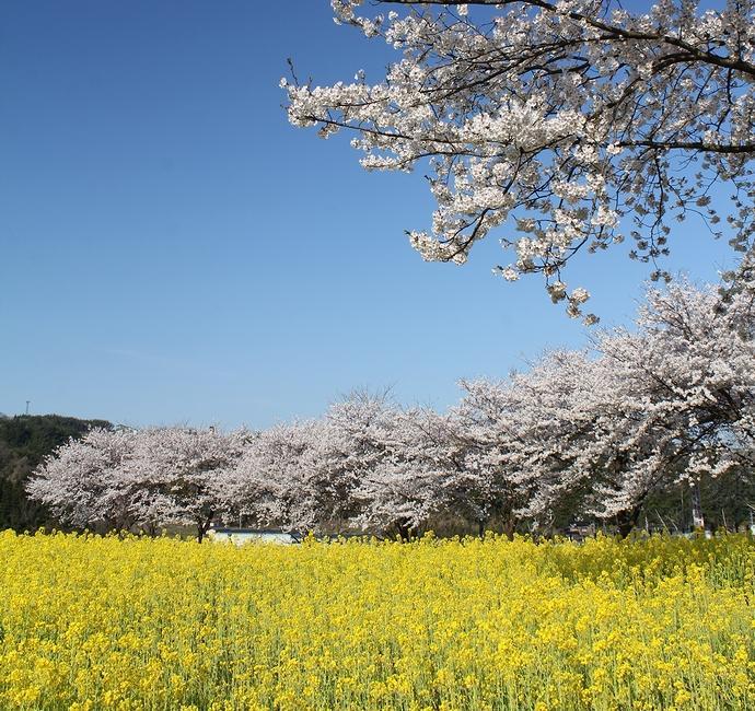 金沢・太陽が丘の桜並木と菜の花畑